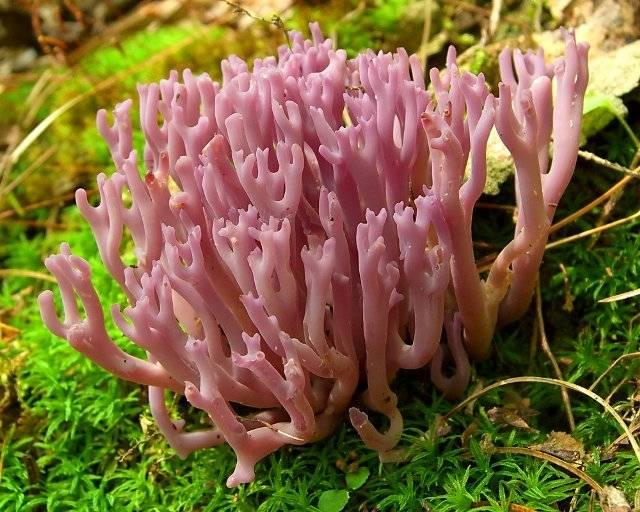 Коралловые грибы: фото, описание, рецепты приготовления, польза и вред