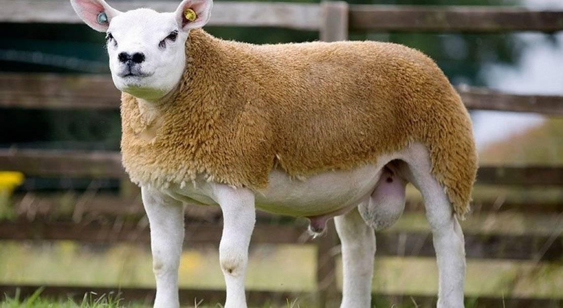 Овцы породы тексель: описание, достоинства и недостатки