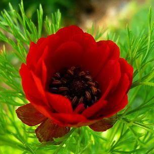 Как посадить и ухаживать за адонисом амурским, весенним, красным: полив, удобрение