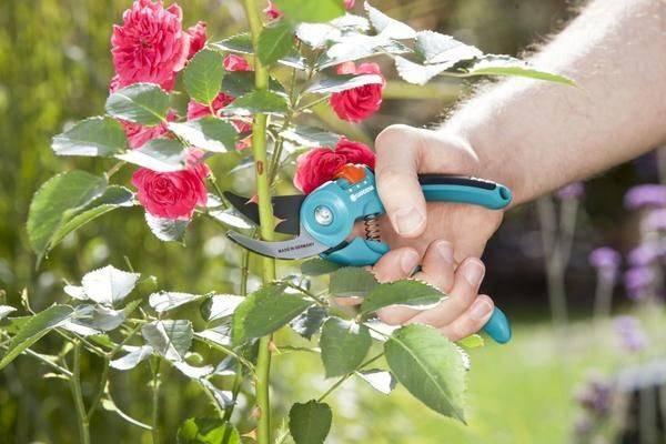 Обрезка роз на зиму: разбираемся как подрезать правильно и без ущерба растению