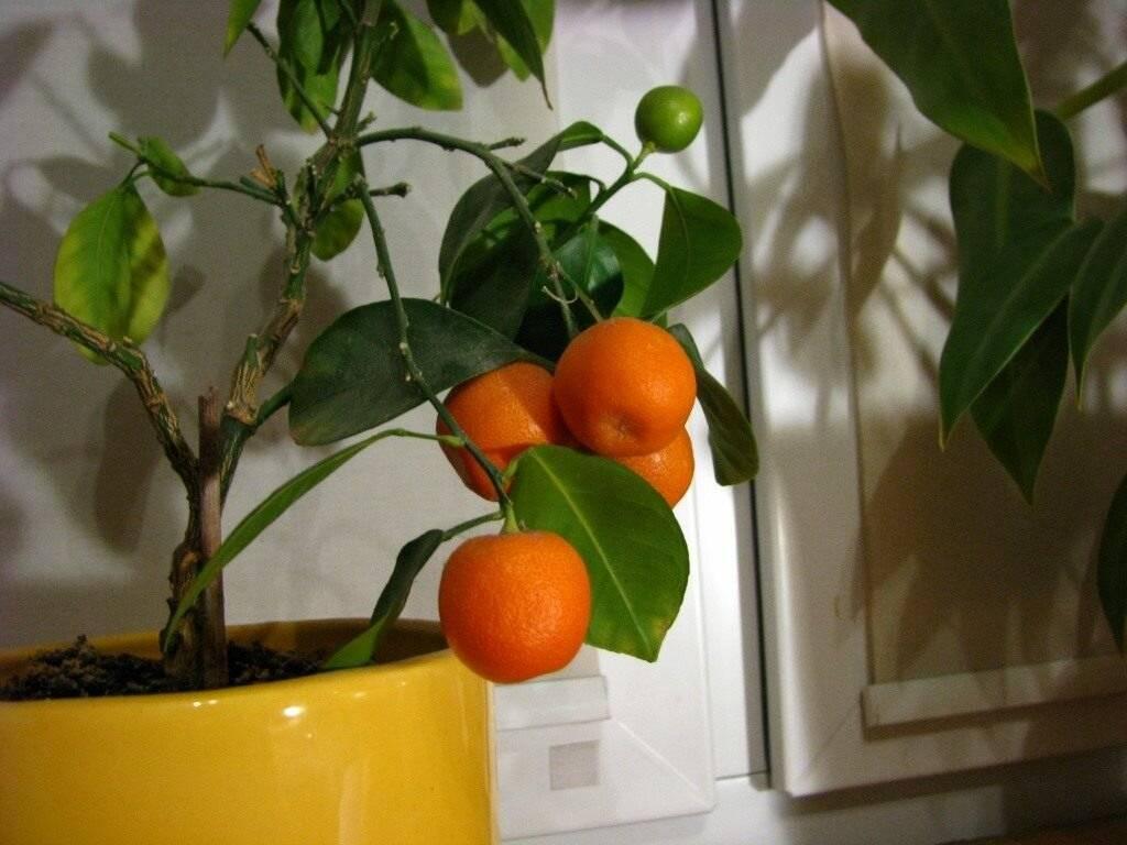 Апельсиновое дерево: описание, фото, уход в домашних условиях
