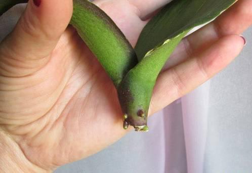 Как реанимировать орхидею – в домашних условиях без корней