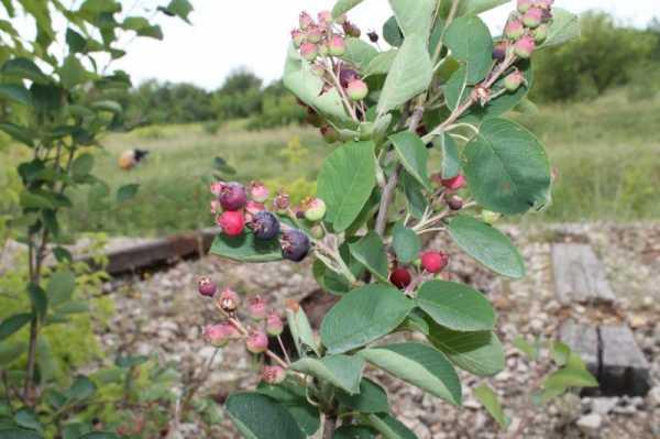 Ирга: посадка и уход в открытом грунте. свойства и основные виды ирги