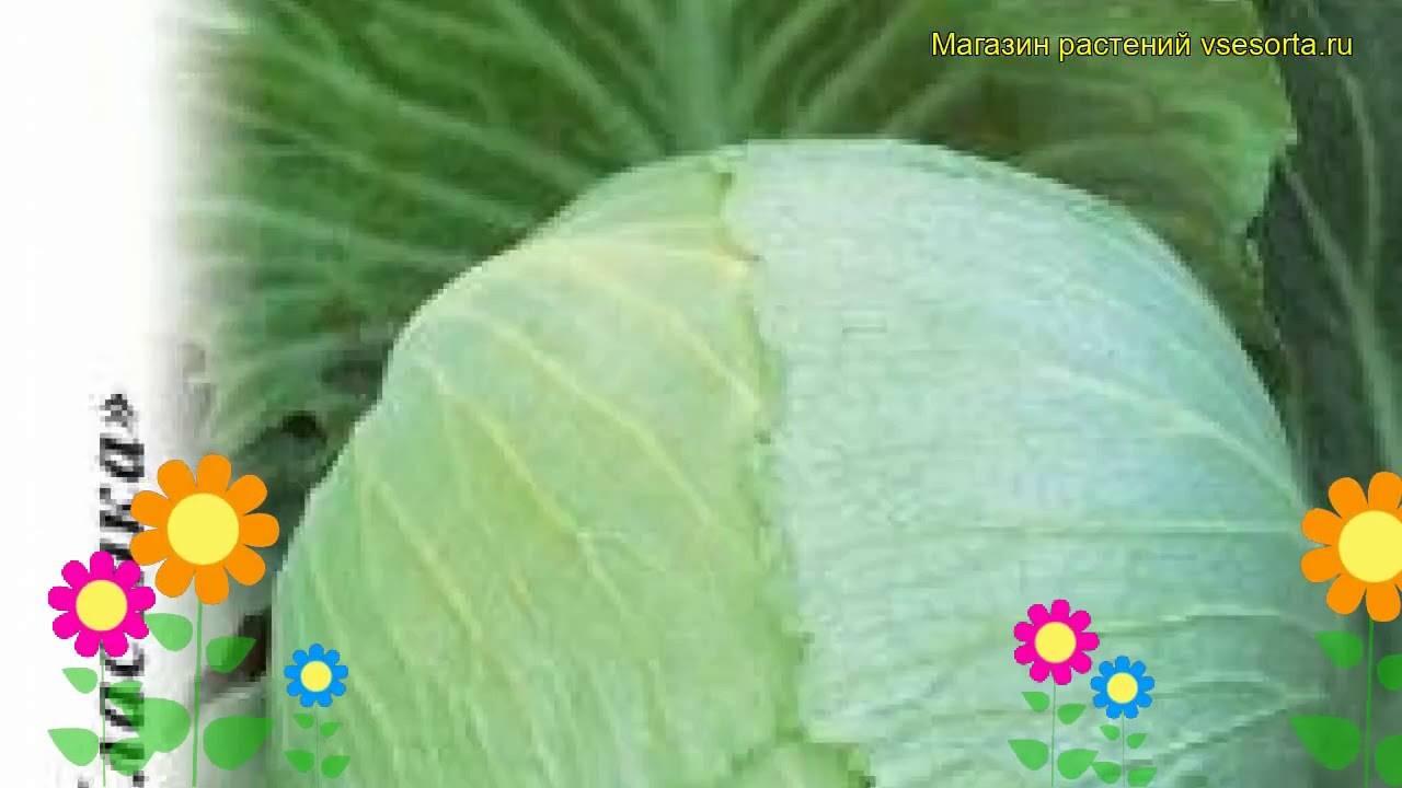 Капуста крюмон: описание, плюсы и минусы, урожайность, посадка и уход, отзывы