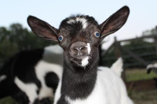 Испуг козы. козы при испуге падают в обморок: причины