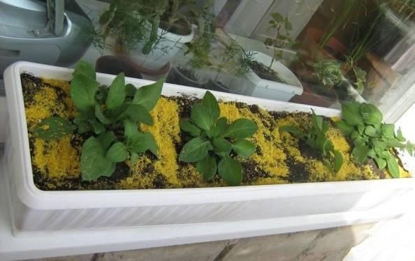 Вегетативная петуния: что это значит? особенности размножения черенками, посадка и уход. чем отличается от обычной петунии?