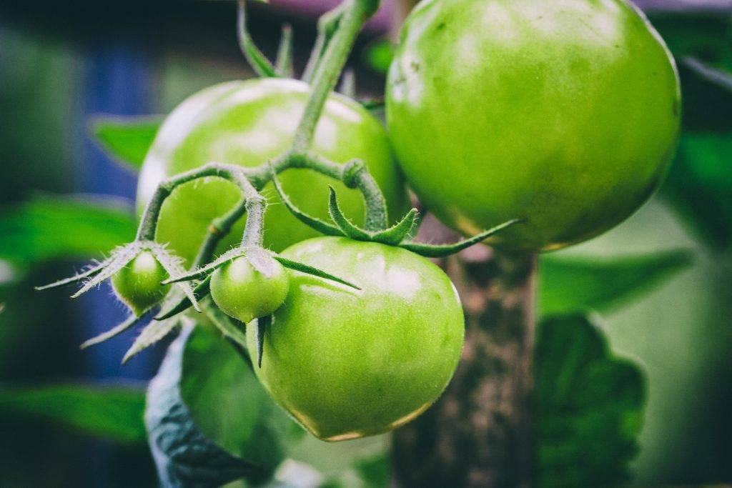Описание и характеристики томатов сорта буденовка, урожайность и выращивание