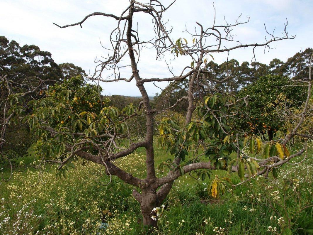 Засыхают листья на яблоне: почему, что делать для лечения болезни?