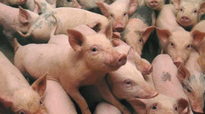 Свиноводство в домашних условиях. как содержать свиней?