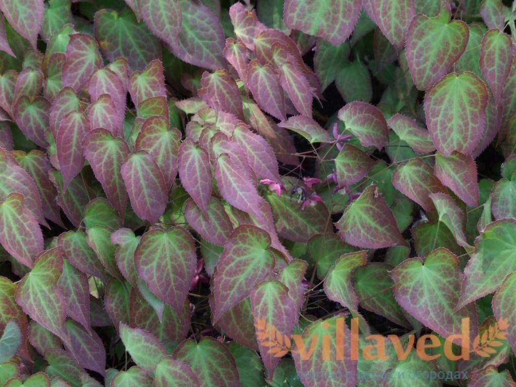 Горянка крупноцветковая: виды, уход выращивание, размножение
