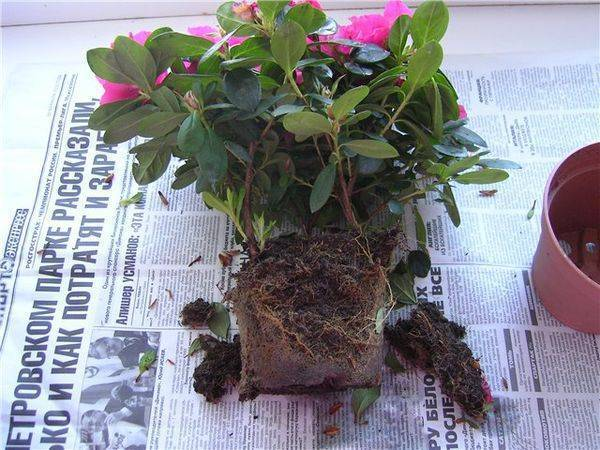 Азалия - уход в домашних условиях: полив, пересадка, размножение, сорта и фото