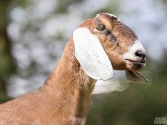 Порода нубийские козы: фото, отзывы и описание. характеристики породы, сколько молока можно получить, содержание коз.