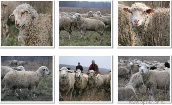 Тексель – одна из лучших мясных пород овец