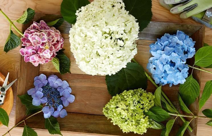 Обрезка гортензии осенью и весной: пошаговые инструкции