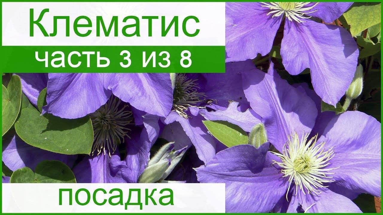 Правила весенней посадки клематиса: советы опытных цветоводов