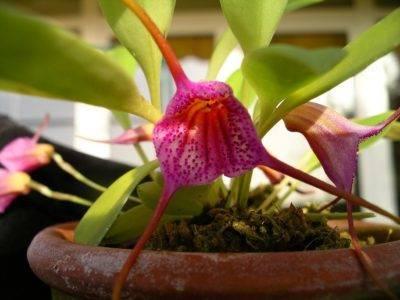 Масдеваллия (орхидея) уход в домашних условиях полив пересадка
