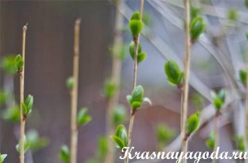 Размножение барбариса черенками весной - журнал садовода ryazanameli.ru