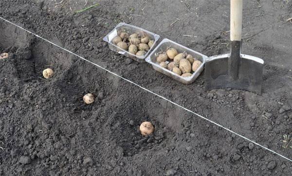 ✅ как сажать картофель мотоблоком, как использовать картофелесажалку - tehnomir32.ru