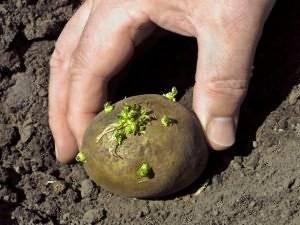 Внекорневая подкормка картофеля после всходов и при цветении