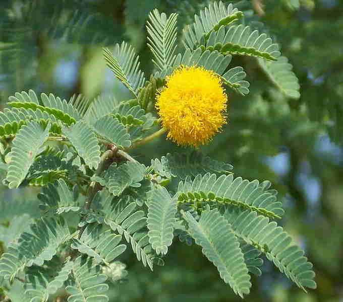 Акация: лечебные свойства и противопоказания, виды растения