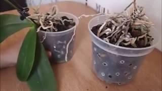 Как нарастить корни у детки орхидеи, в том числе если отводок только один, почему они могут отсутствовать и что делать, если возникла проблемная ситуация? selo.guru — интернет портал о сельском хозяйстве