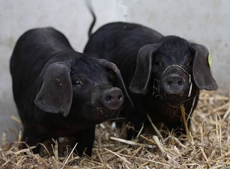 Лучшие сальные породы свиней