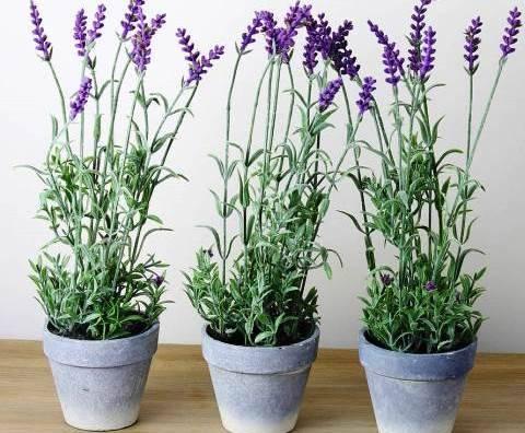 Цветок лаванда — описание, полезные свойства, выращивание дома