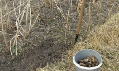 Выращивание топинамбура: агротехника и фото, размножение, а также как посадить в домашних условиях клубнями на участке на даче в открытом грунте и где взять семена? русский фермер