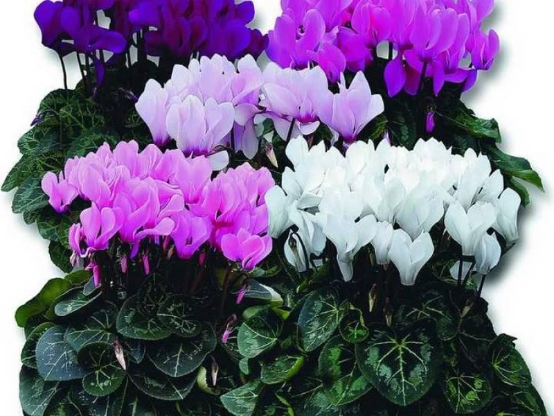 Цикламен: секреты ухода в домашних условиях за требовательным растением