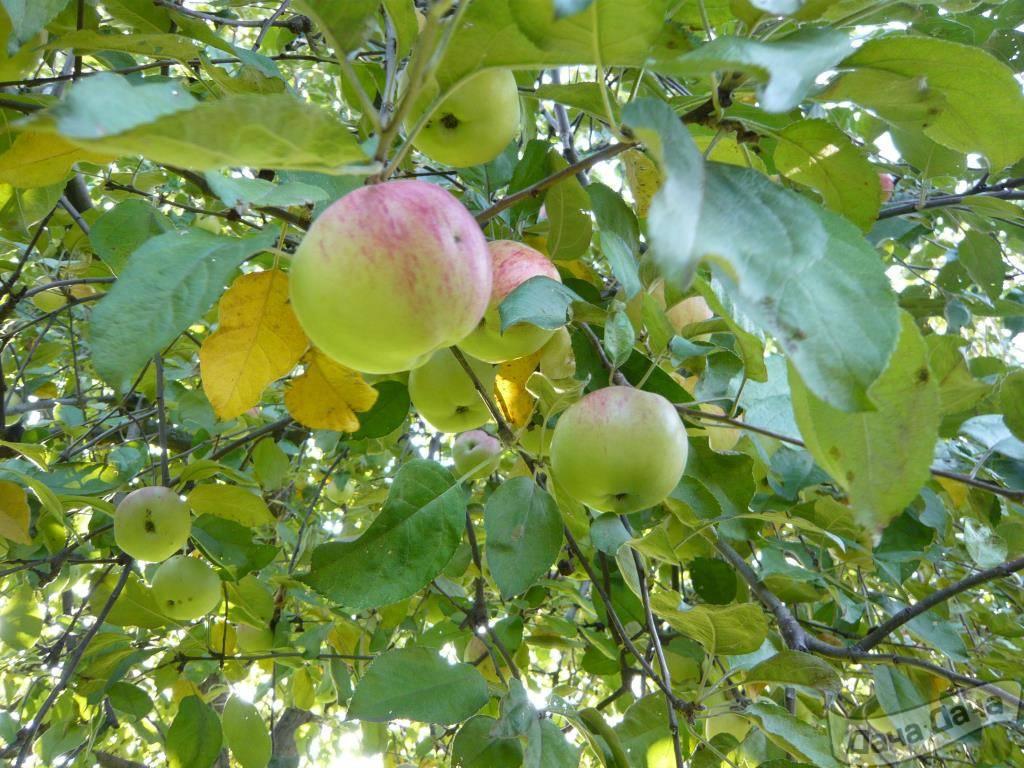 Сортовая характеристика яблони память мичурина - мыдачники