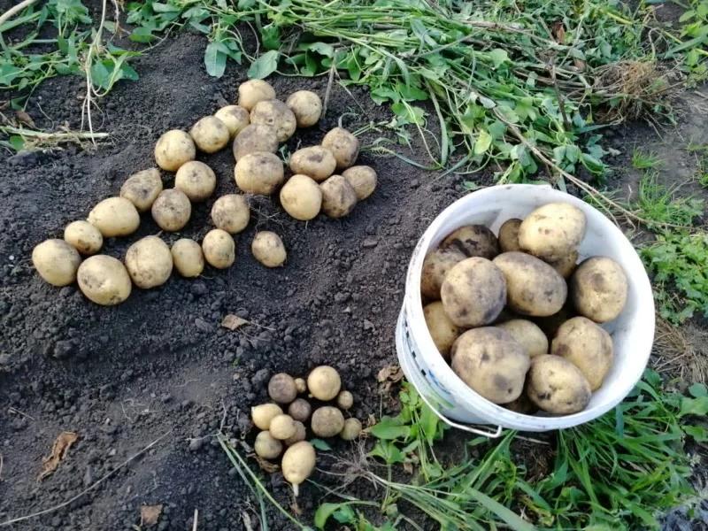 Описание сорта тулеевского картофеля