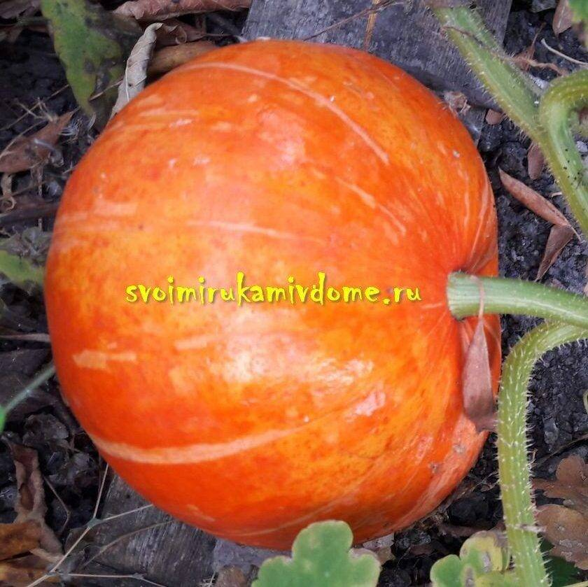 Лучшие сорта кормовой тыквы - сад и огород