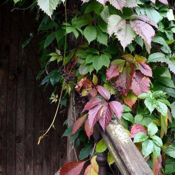 Девичий виноград посадка и уход в сибири, выращивание и размножение сорта, болезни и подкормка + фото