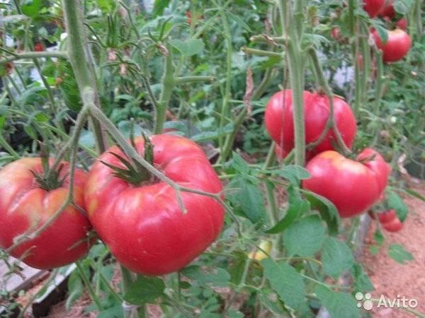 Томат розовый гигант: отзывы, фото, урожайность, описание и характеристика   tomatland.ru