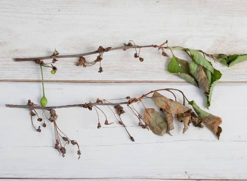 Почему вянут листья у вишни: что делать, ржавеют и засыхают листья