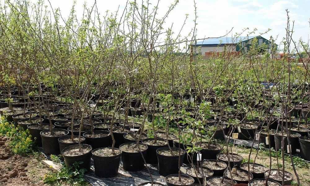 Посадка груши саженцами весной и осенью: пошаговое руководство