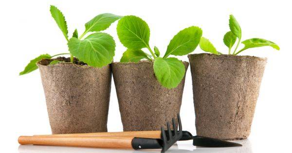 Выращивание капусты от а до я
