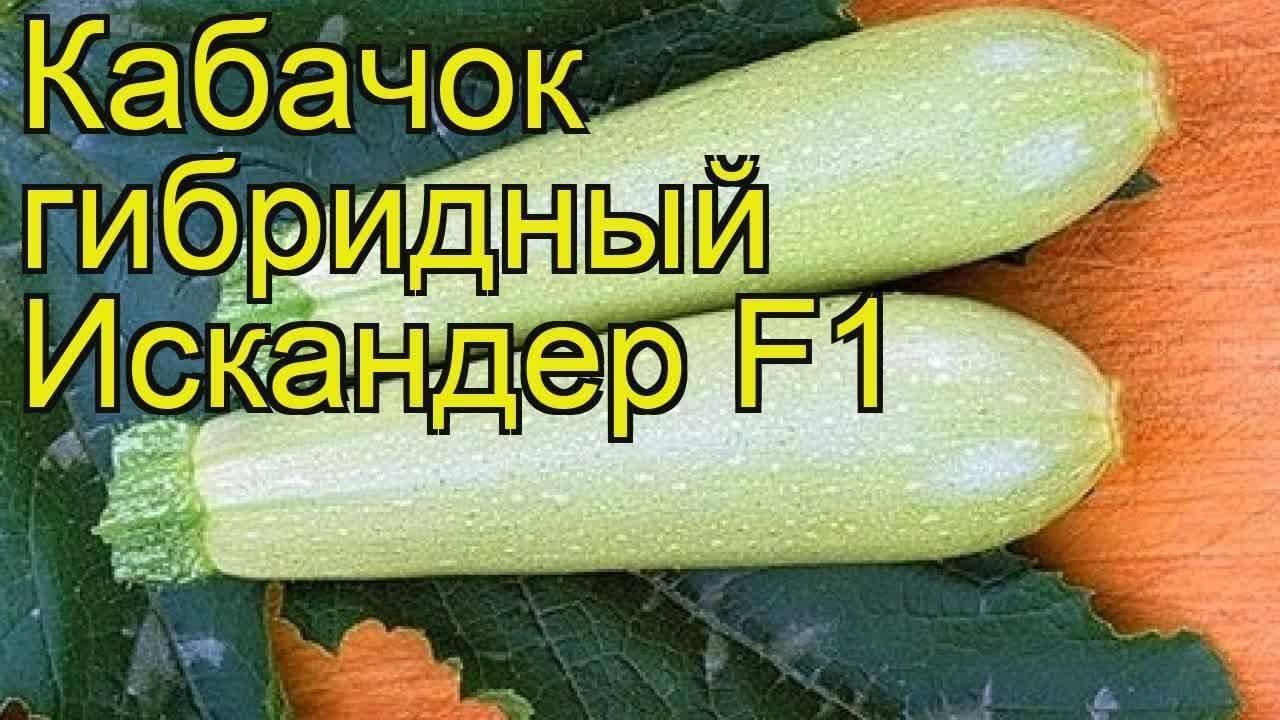 Подробное описание сорта кабачка искандер f1