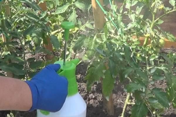 Как бороться с бурой пятнистостью томатов