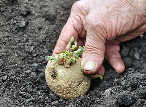 Выращивание картофеля по методу кизимы: описание правил посадки и секреты агротехники
