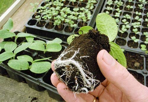 Посадка тыквы семенами в открытый грунт - простые рекомендации для новичков