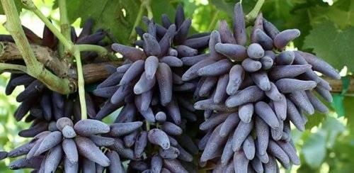 Виноград дамские пальчики: описание белого и черного сорта, когда созревает и уход