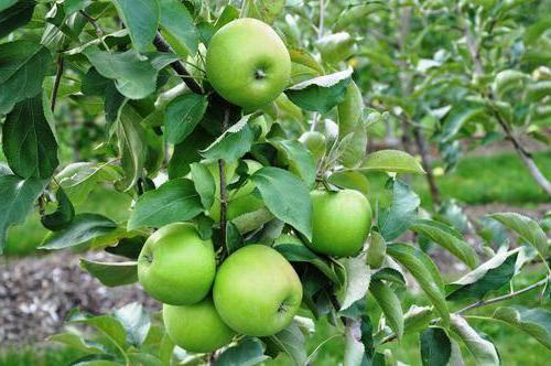 Яблоко гренни смит - калорийность, полезные свойства, польза и вред, описание