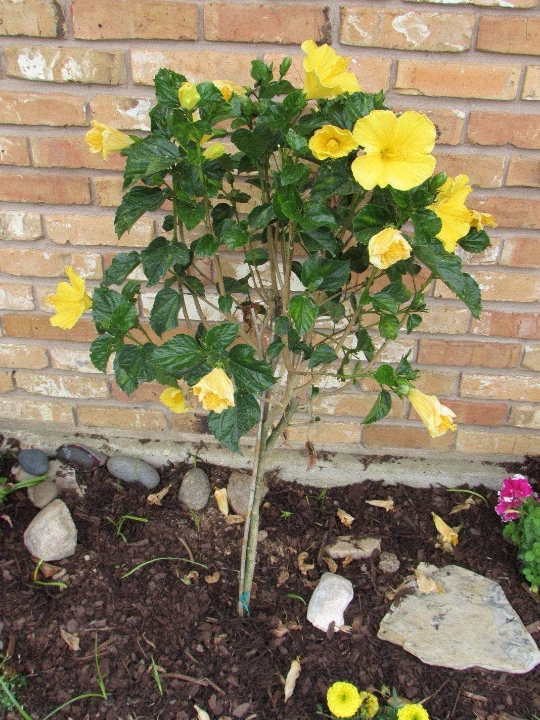 Гибискус древовидный выращивание и размножение в открытом грунте, как ухаживать за китайской розой в беларуси и подмосковье, цветок смерти: почему?