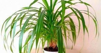 Домашние цветы похожие на пальму: виды, фото, названия