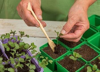Как производить пикировку рассады капусты