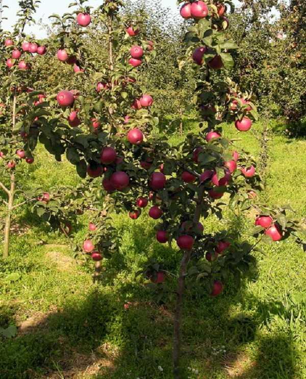 Яблоня подарок графскому - описание сорта с фото, отзывы, посадка и уход