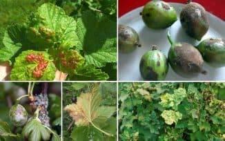 Что делать, если ягоды крыжовника покрылись коричневым налетом, как спасти урожай
