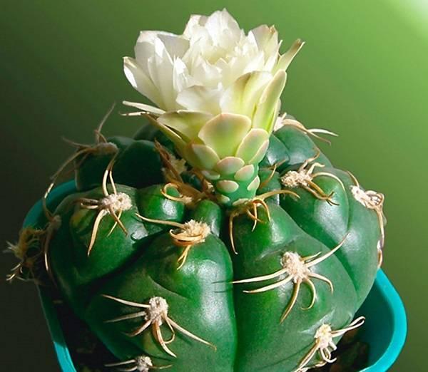 """""""гимнокалициум"""": виды кактуса, уход в домашних условиях, фото, размножение selo.guru — интернет портал о сельском хозяйстве"""