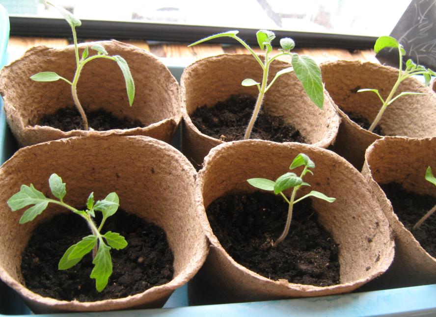 Когда пересаживать помидоры в открытый грунт или теплицу, видео и фото